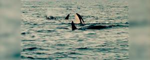 ARC orca copy